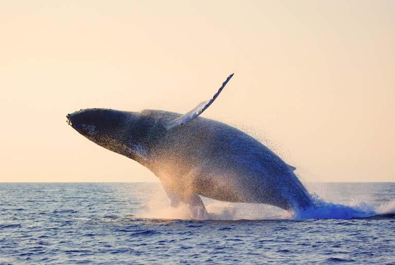 La baleine à bosse de A à Z