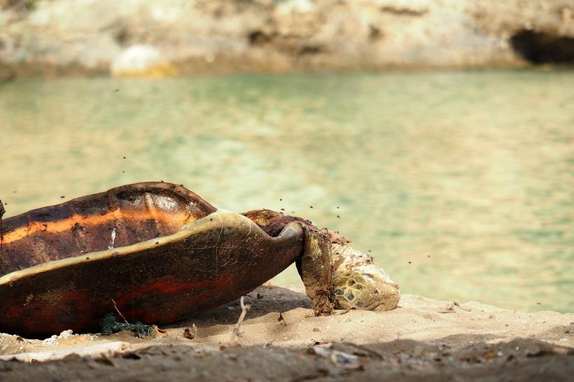 40 tortues braconnées en Petite-Terre depuis le début du confinement