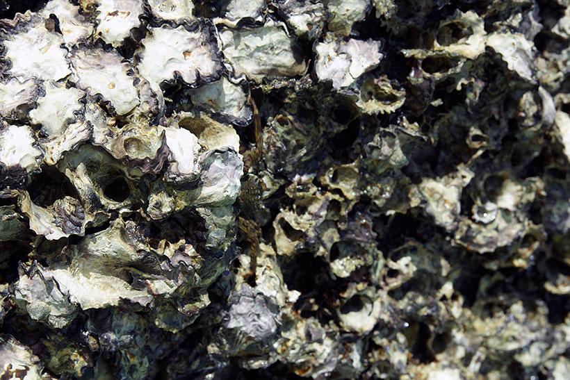 Les huîtres, perles du lagon