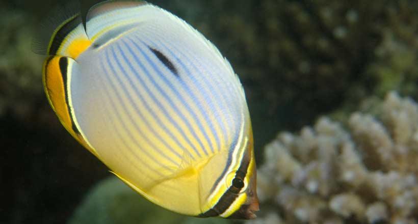 Le récif a des yeux : les poissons-papillons