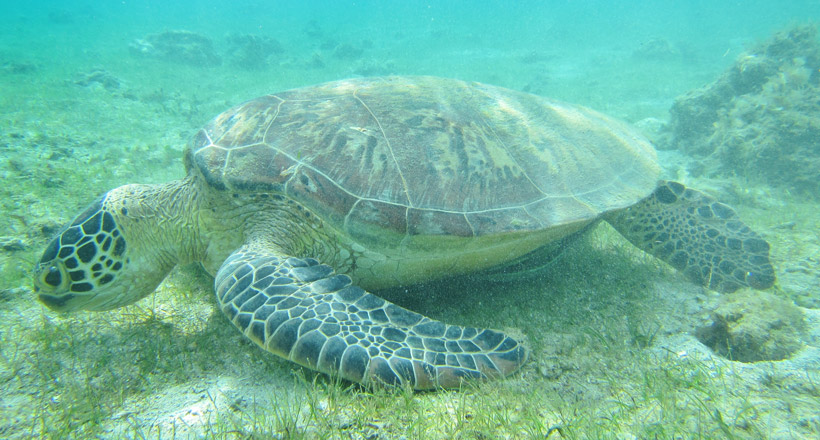 Les tortues du lagon de Mayotte
