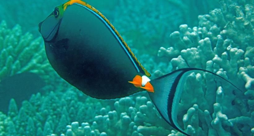 Les lames du fond : les poissons-chirurgiens