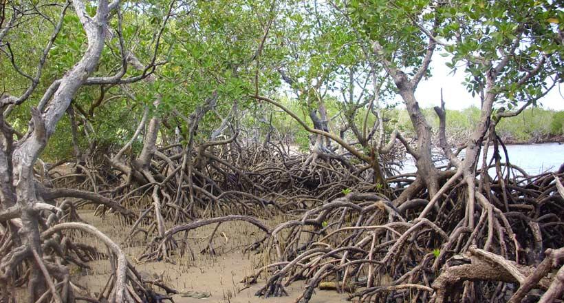 Nettoyage de la mangrove de Majicavo : 750 sacs de déchets collectés