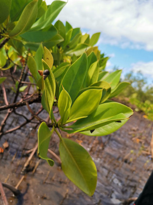 sensibiliser-gestion-durable-mangroves-priorite-uicn